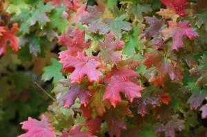 Multicolored Maples 3 Sm